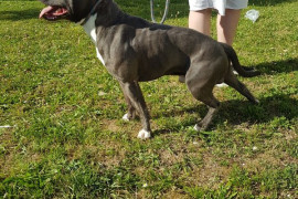 American Staffordshire Terrier disponible